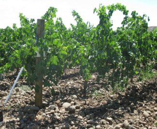 Funk Estate Vineyard 4
